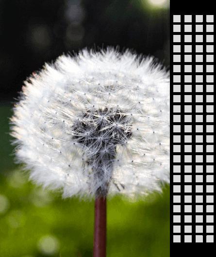 about-dandelion-image