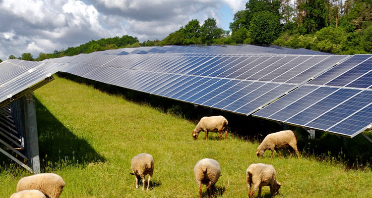 Sheep Prove To Be A Tech Lawn Mowing Alternative For Solar Farms